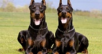 Dobermanas (Doberman Pinscher)