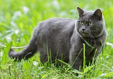 Britų trumpaplaukis (British Shorthair)