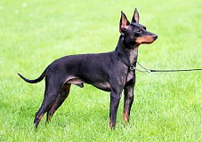 Anglų toiterjeras (English Toy Terrier)