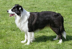 Borderkolis (Border Collie)