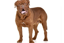 Bordo dogas (Dogue de Bordeaux)