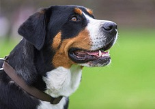 Didysis Šveicarų Zenenhundas (Greater Swiss Mountain Dog)