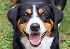 Entlebucho zenenhundas (Entlebucher Mountain Dog)