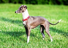 Levretė (Italian Greyhound)