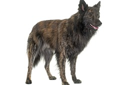 Olandų aviganis (Dutch Shepherd Dog)