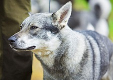 Švedų elkhundas (Swedish Elkhound)