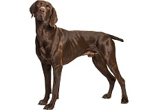 Kurtsharas (German Shorthaired Pointer)